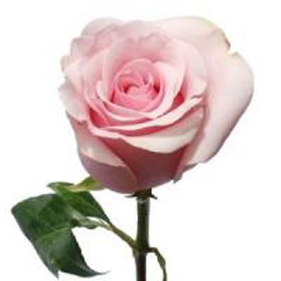 Titanic Roses Wholesale To The Public, DIY Weddings and Events