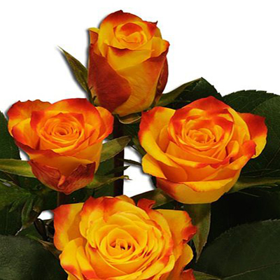 Tutti Frutti Roses Wholesale to the Public, DIY Weddings and Events