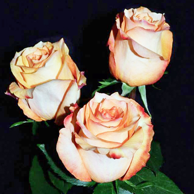 Twilight Roses Wholesale to the Public, DIY Weddings and Events