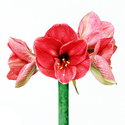 Amaryllis Bolero Wholesale to the Public, DIY Weddings and Events