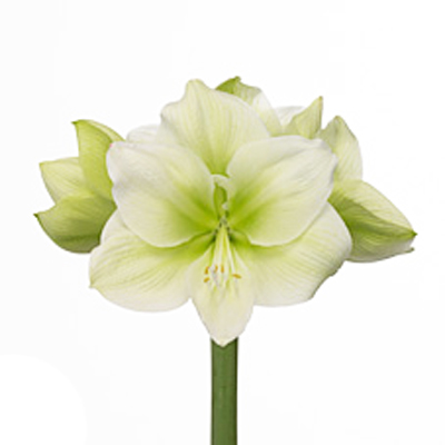 Amaryllis Challenger Wholesale to the Public, DIY Weddings and Events