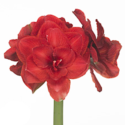 Amaryllis Cherry Nymph Wholesale to the Public, DIY Weddings and Events