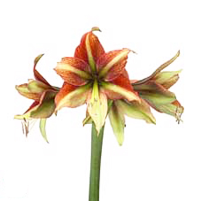 Amaryllis Fledermaus Wholesale to the Public, DIY Weddings and Events