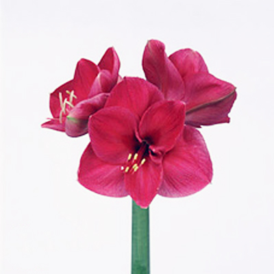 Amaryllis Lilac Favourite Wholesale to the Public, DIY Weddings and Events