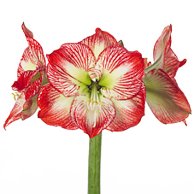 Amaryllis Mega Star Wholesale to the Public, DIY Weddings and Events