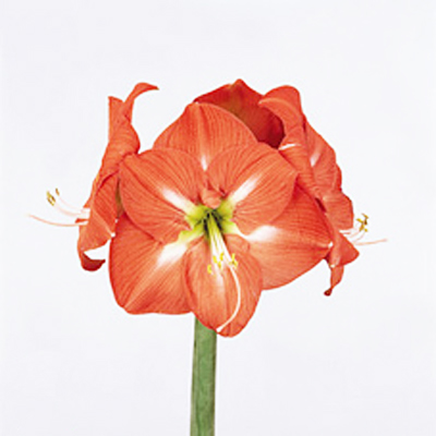 Amaryllis Nagano Wholesale to the Public, DIY Weddings and Events
