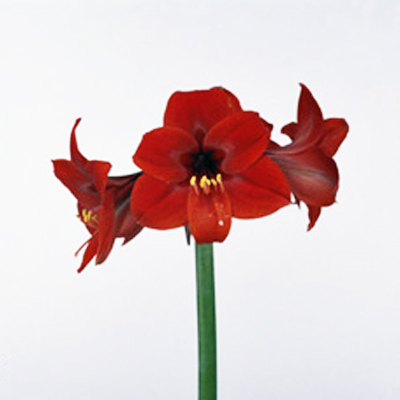 Amaryllis Rapido Wholesale to the Public, DIY Weddings and Events