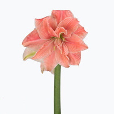 Amaryllis Sweet Nymph Wholesale to the Public, DIY Weddings and Events