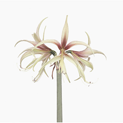 Amaryllis Tarantula Wholesale to the Public, DIY Weddings and Events