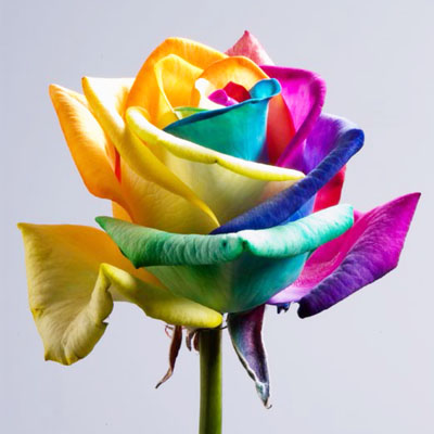 Rainbow Roses Wholesale to the Public, DIY Weddings and Events