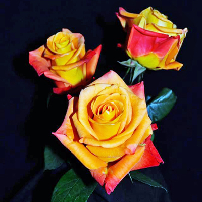 Voodoo Roses Wholesale To The Public DIY Weddings and Events