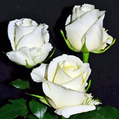 White Chocolate Roses Wholesale to the Public, DIY Weddings and Events