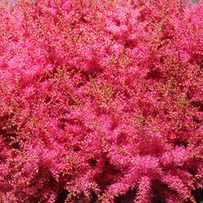 Astilbe Boogie Woogie for Weddings, Events and DIY Brides. Wedding Florist in Fairfield, NJ