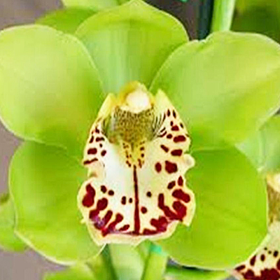 Cymbidium Apple Green Wholesale Florist Open to the Public, DIY Weddings and Events