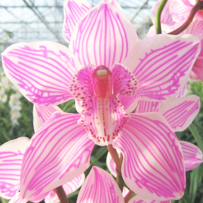 Cymbidium Dyed Pink Wholesale FLorist Open to the Public, DIY Weddings and Events