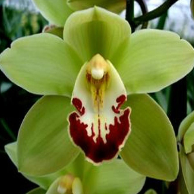 Cymbidium Machteld Wholesale Florist Open to the Public, DIY Weddings and Events