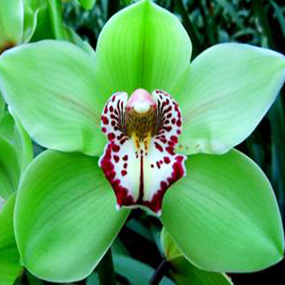 Cymbidium Mrs Amore Verde Wholesale Florist to the Public, DIY Weddings and Events
