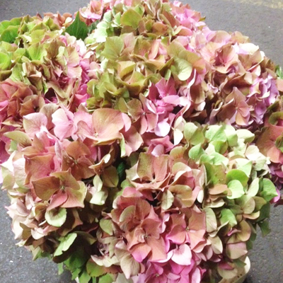 Hydrangea Antique Pink Wholesale to the Public, DIY Weddings and Events