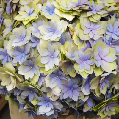 Hydrangea Expression Wholesale to the Public, DIY Weddings and Events