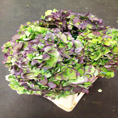 Hydrangea Antique Bordeaux Wholesale to the Public, DIY Weddings and Events