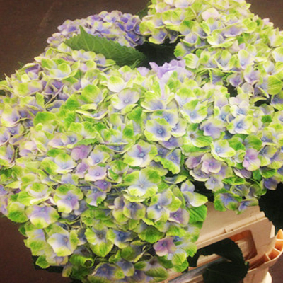 Hydrangea Magical Coral Blue Wholesale Florist to the Public, DIY Weddings and Events