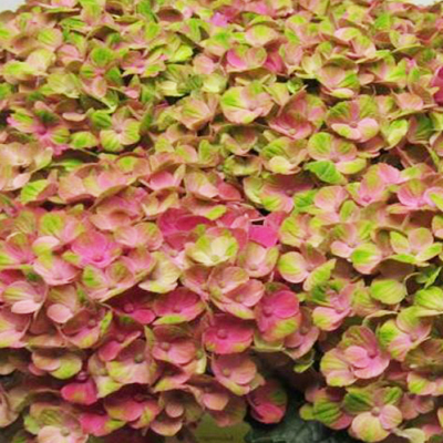 Hydrangea Magical Coral Wholesale Florist to the Public, DIY Weddings and Events