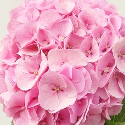 Hydrangea Mammoet Wholesale Florist Open to the Public, DIY Weddings and Events