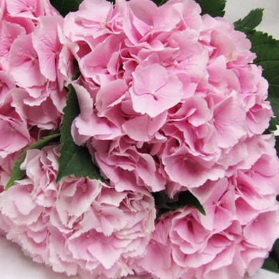 Hydrangea Marsepein Pink Wholesale Florist Open to the Public, DIY Weddings and Events