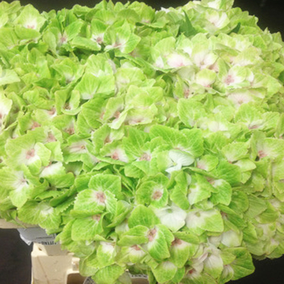 Hydrangea Noblesse Green Wholesale Florist Open to the Public, DIY Weddings and Events