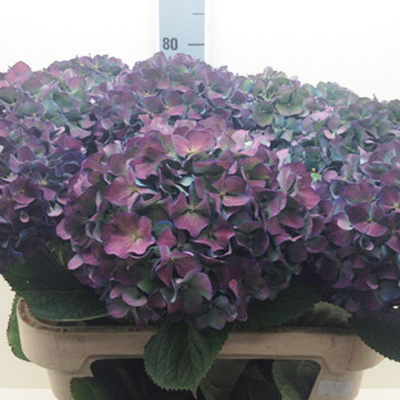 Hydrangea Pimpernel Antique Wholesale Florist Open to the Public, DIY Weddings and Events