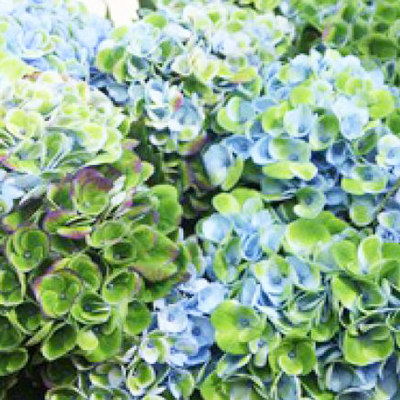 Hydrangea Revolution Blue Green Wholesale Florist Open to the Public, DIY Weddings and Events