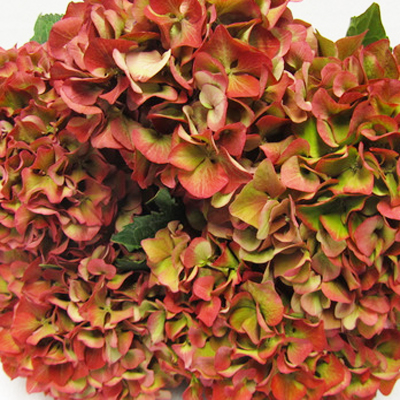 Hydrangea Red Dingo Wholesale Florist Open to the Public, DIY Weddings and Events