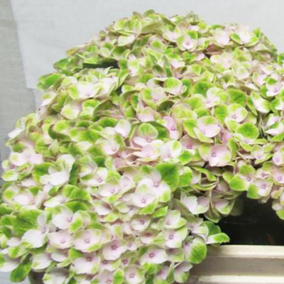 Hydrangea Revolution Pink Green Wholesale Florist Open to the Public