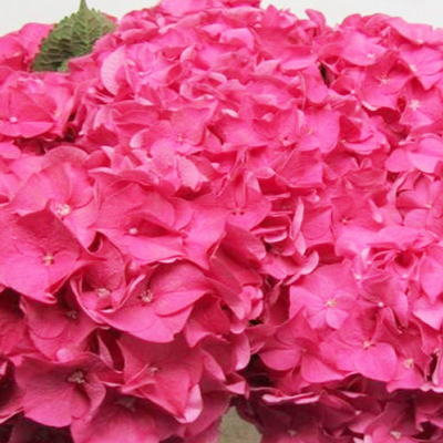 Hydrangea Rodeo Pink Wholesale FLorist Open to the Public, DIY Weddings and Events