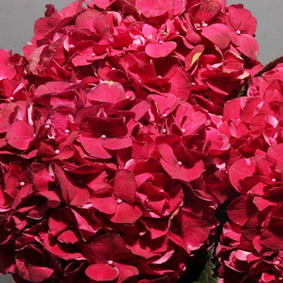 Hydrangea Ruby Red Wholesale Florist Open to the Public, DIY Weddings and Events