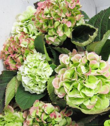 Hydrangea Schneeball Antique Wholesale Florist Open to the Public, DIY Weddings and Events