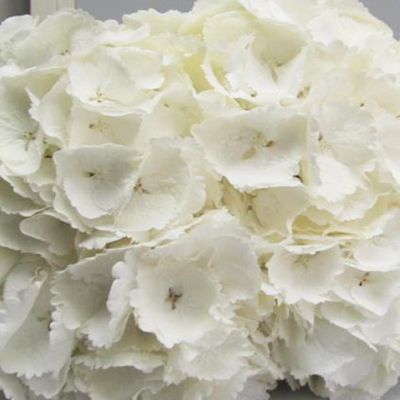 Hydrangea Schneeball Wholesale Florist Open To The Public, DIY Weddings and Events