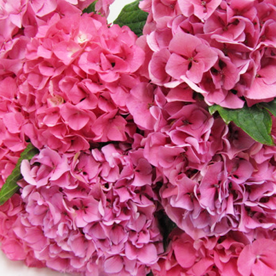 Hydrangea Sibila Red Wholesale Florist Open To The Public, DIY Weddings and Events