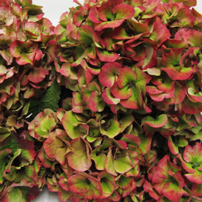Hydrangea Sibila Red Antique Wholesale Florist Open to the Public, DIY Weddings and Events