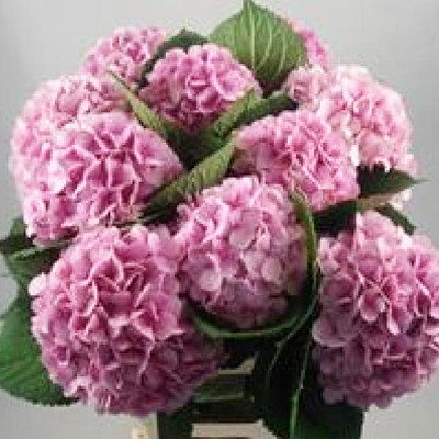 Hydrangea Vendetta Pink Wholesale Florist Open to the Public, DIY Weddings and Events