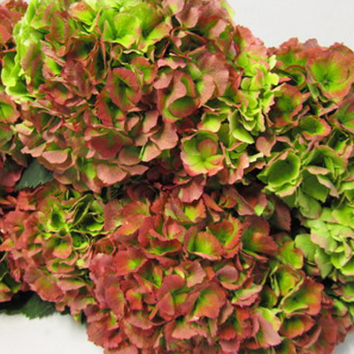 Hydrangea Verena Antique Pink Wholesale Florist Open to the Public, DIY Weddings and Events