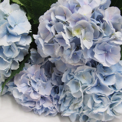 Hydrangea Verena Light Blue Wholesale Florist Open to the Public, DIY Weddings and Events