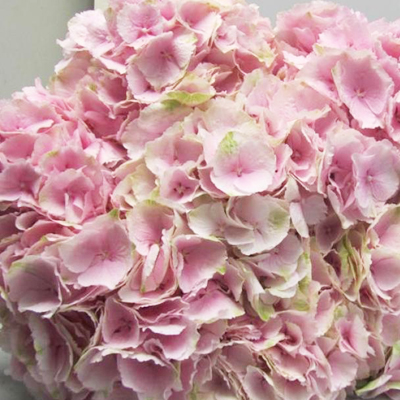 Hydrangea Verena Light Pink Wholesale Florist Open To The Public, DIY Weddings and Events