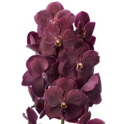 Vanda Copper Red for Weddings, Events and DIY Brides. Wedding Florist in Fairfield, NJ 07004