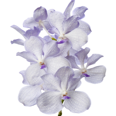 Vanda Lavender Mist for Weddings, Events and DIY Brides. Wedding Florist Serving NNJ