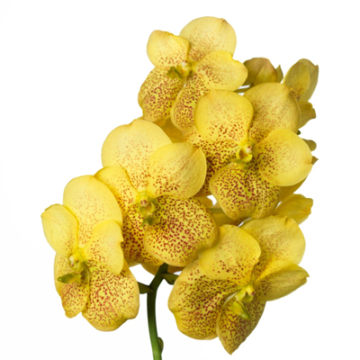 Vanda Magic Yellow for Weddings, Events and DIY Brides. Wedding Florist in NNJ