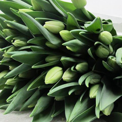 Dynasty Tulips for Weddings, Events and DIY Brides. Wedding Florist in Fairfield, NJ