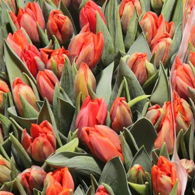 Hermitage Tulips for Weddings, Events and DIY Brides. Wedding Florist in Fairfield, NJ
