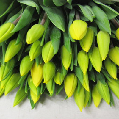Yellow Flight Tulips for Weddings, Events and DIY Brides. Wedding Florist in Fairfield, NJ