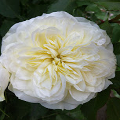 Annice Garden Roses Wedding Flowers and Wedding Florist in Fairfield, NJ